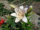 Посмотреть все фотографии серии Зацвели лилии