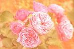 Посмотреть все фотографии серии Розы в моём саду