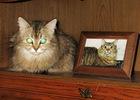 Посмотреть все фотографии серии Сибирская кошка Микки