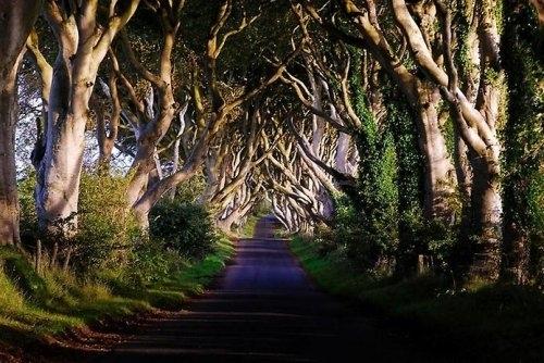 Аллея буков в Северной Ирландии под названием Темный Тупик. Здесь растет более 100 буков, которым примерно 300 лет.