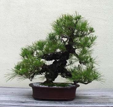 Природа :: Бонсаи и penjing фото 138.