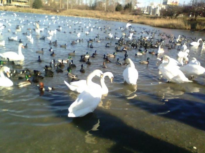 Севастополь.Лебеди на зимовке.