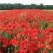 ..Красные маки в поле зелёном  Радуют душу и сердце.