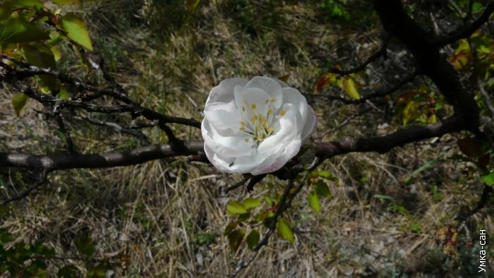 мутантный (махровый) цветок абрикосы