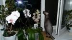 новые фаленопсисы мини(очень боюсь за них!)