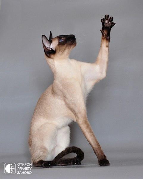 1: Сиамская. Победителем в списке самых популярных пород кошек в США стала сиамская порода. Их голубые глаза покоряют многих, однако именно благодаря своему характеру эти кошки завоевали себе первое место. Они очень любят «разговаривать» (даже ночью), а о