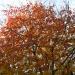 Все краски осени на вишнях под окном..