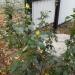 Облетает листва в садах, а розы вновь готовы зацвести..
