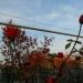Розы в небо стремятся за улетающими журавлями..