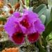 орхидеи Тайланда