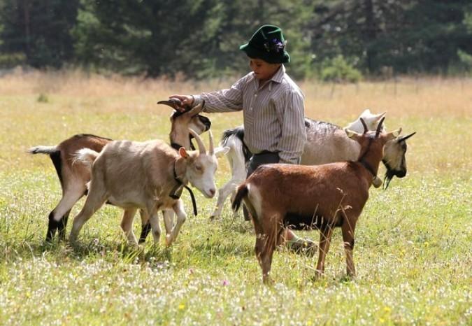 Празднчный выпас коров, овец и козлов около Mittenwald, Германия, 4 сентября 2010 года.