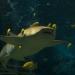 Акула-нянька с лоцманами