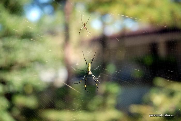 В Японии несколько раз находил паутину и пауков, в том числе и в публичных местах. Они не ходят по газонам, поэтому пауки легко строят паутину между деревьями