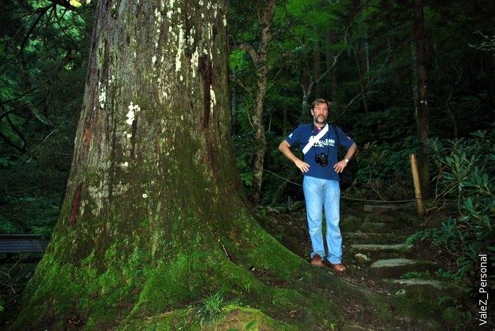 В начале маршрута многосотлетняя японская сосна