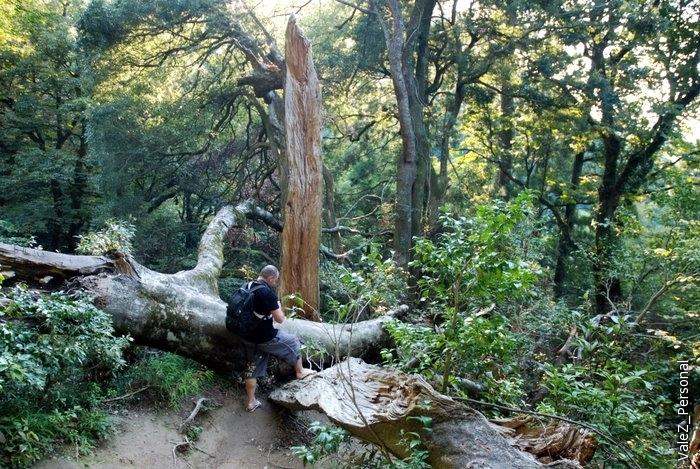 И расщепленное дерево