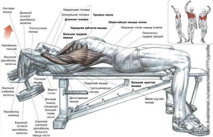 спорт,силовой спорт,упражнения,песочница.  Длинный лучевой разгибатель запястья Плечелучевая мышца Большая грудная...