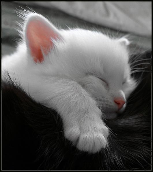 котята видео, британский плюшевый котенок фото.  В мире можно найти все...