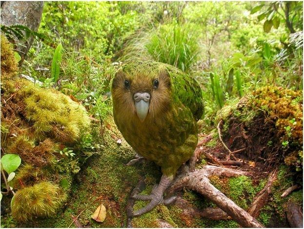 На фото изображен какапо, автор – Шейн Макиннес, этот снимок победил в категории «Птицы находящиеся под угрозой исчезновения или Исчезающие птицы в дикой природе».