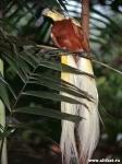 Со временем ученые открывали все новые виды райских птиц (сейчас их...