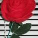 Роза, валяние из шерсти