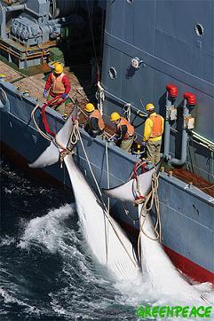 Takip edilen balina sürülerinin geçeceği alana dikey olarak kurulan bu...