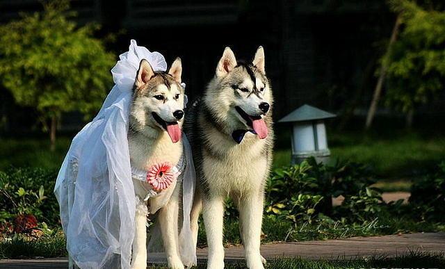 Собачья свадьба хаски