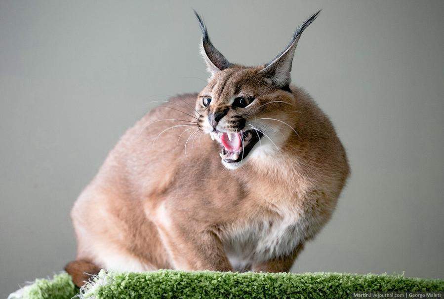 кошки с кисточками на ушах фото представитель этой