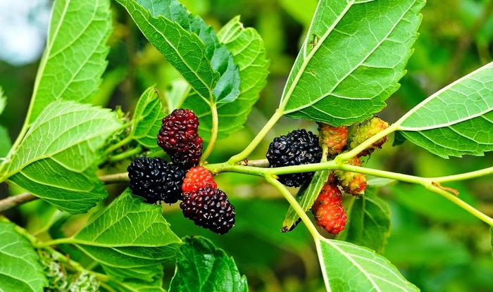 Шелковица (тутовая ягода) (700x415, 120Kb)
