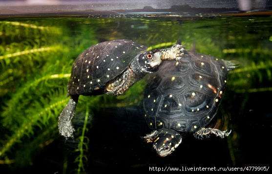 spotted_turtle_two (557x357, 122Kb)
