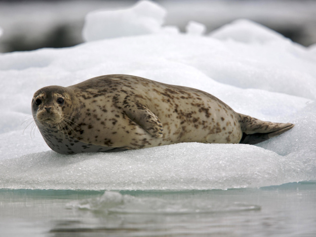Animals_Under_water_Common_seal_025426_29 (640x480, 181Kb)