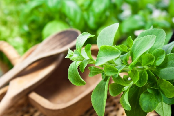 stevia benefits Benefits of stevia in 2008, stevia sweetener ended up endorsed in the usa as a food additive and is quickly becoming famous because of its numerous advantages some.