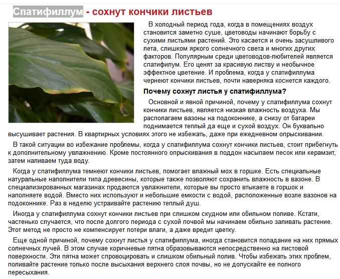 Почему у спатифиллума сохнут края листьев