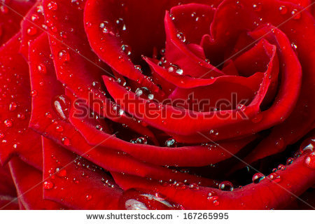 stock-photo-close-up-of-red-rose-167265995 (450x320, 167Kb)