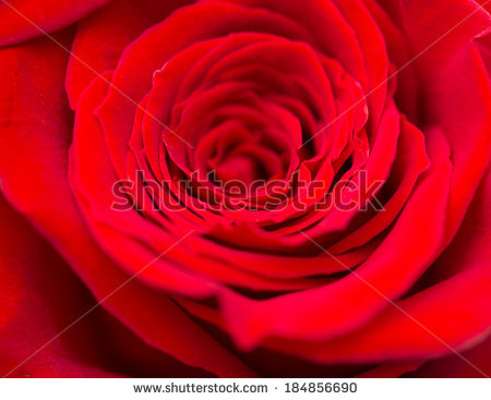 stock-photo-red-roses-as-a-background-macro-184856690 (450x367, 139Kb)