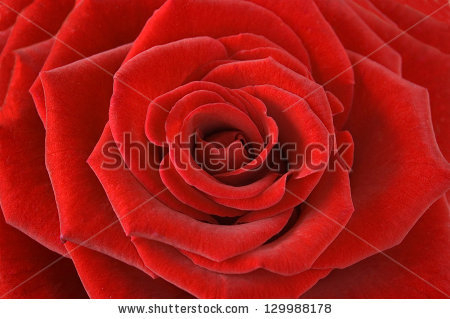 stock-photo-red-velvet-rose-macro-129988178 (450x319, 117Kb)