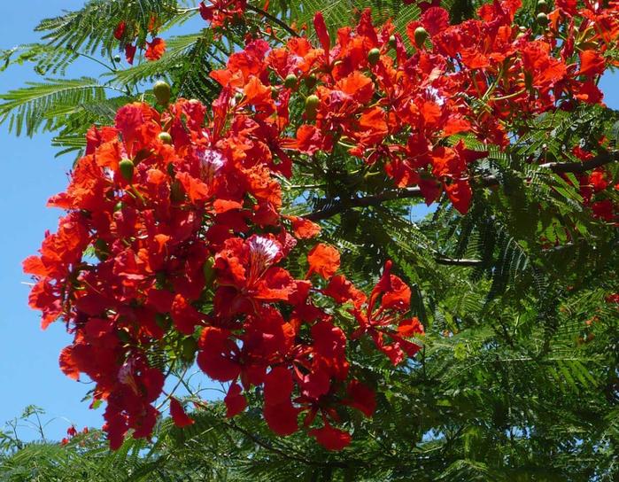 дерево с большими красными цветами фото выслеживал похоронные