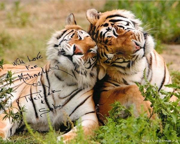 влюблённые тигры фото