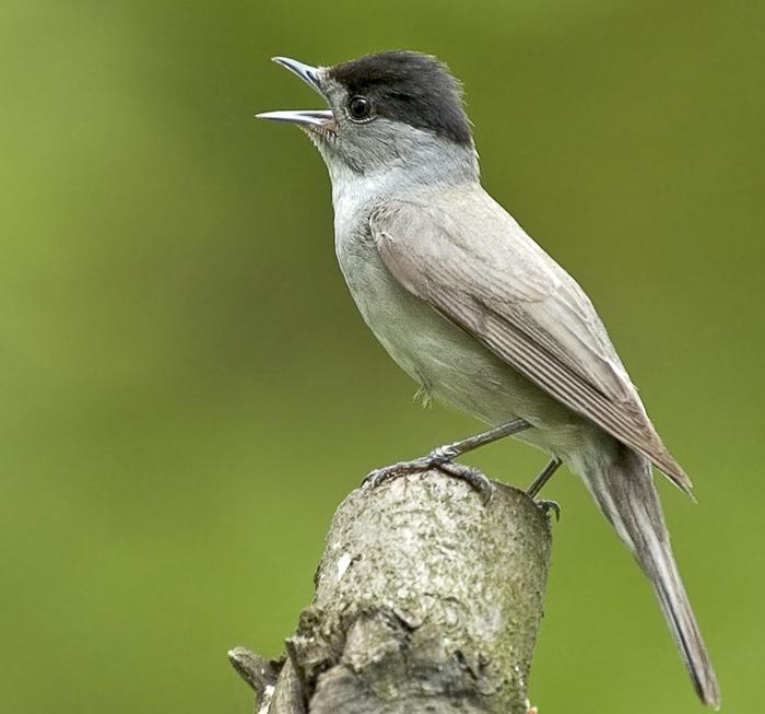 название и птицы певчие урала фото