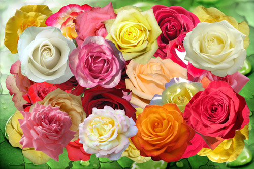 May rose of love (500x334, 110Kb)
