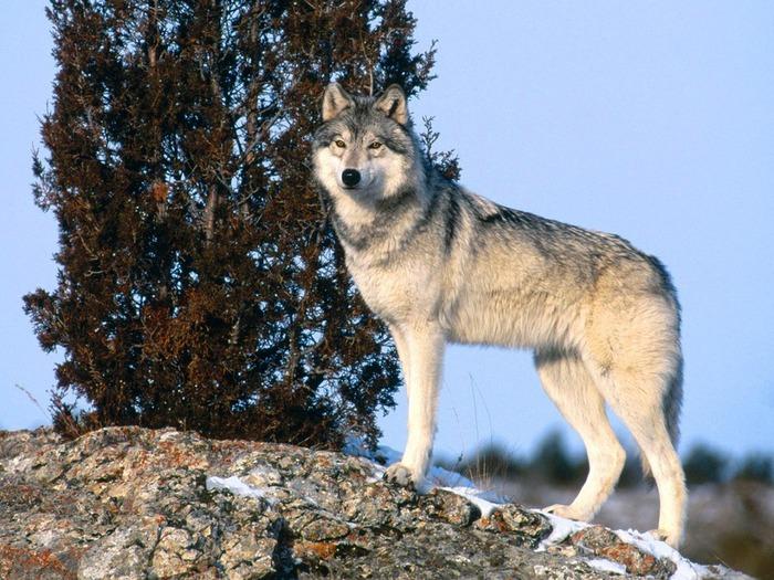 Волк и охотник - Стихи про волков - Стихи про волков - Каталог файлов - Сайт Волка
