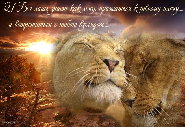 Прикольные открытки со львами, можно написать учителю