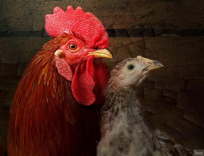 Приснились куры, петух или цыплёнок — что это означает?