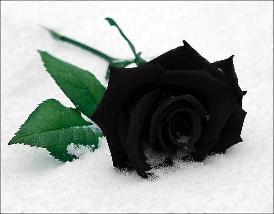 Синяя роза на белом снегу.  Как печально.  Цитата(ovechka @ 15.3.2012...