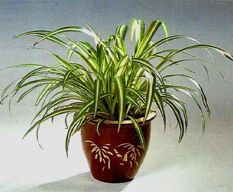 хлорофитум chlorophytum