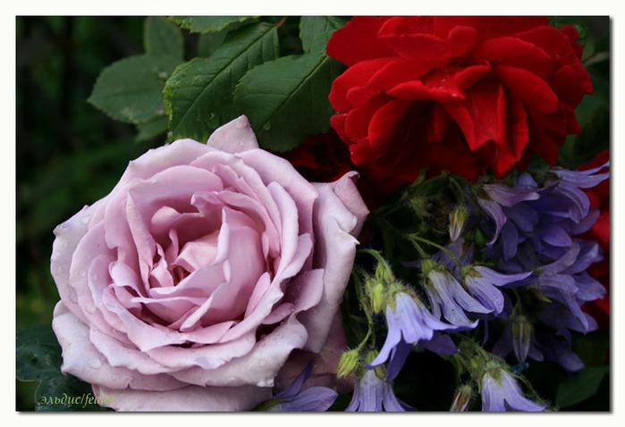 Розовый венец. Розою о розе (о сортах роз). Часть 1. (699x478, 103Kb)