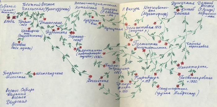 Розовый венец. Розою о розе (о сортах роз). Часть 1. (699x346, 124Kb)