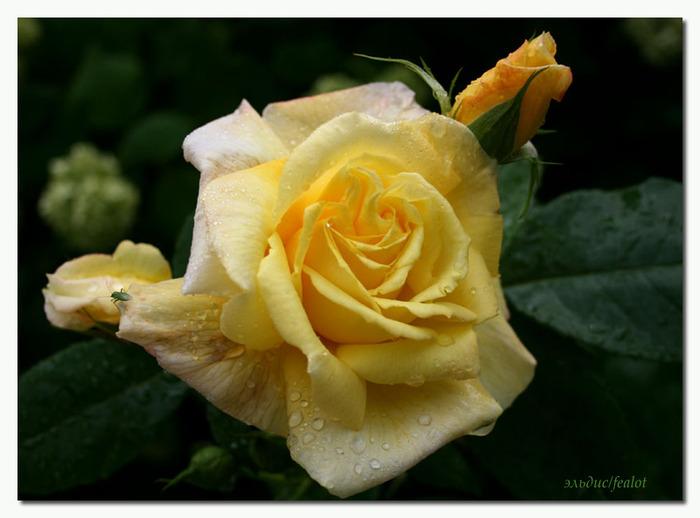 Розовый венец. Розою о розе (о сортах роз). Часть 1. (700x518, 84Kb)