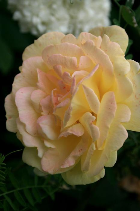 Розовый венец. Розою о розе (о сортах роз). Часть 1. (466x699, 70Kb)