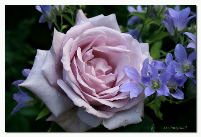 Розовый венец. Розою о розе (о сортах роз). Часть 1. (699x478, 93Kb)