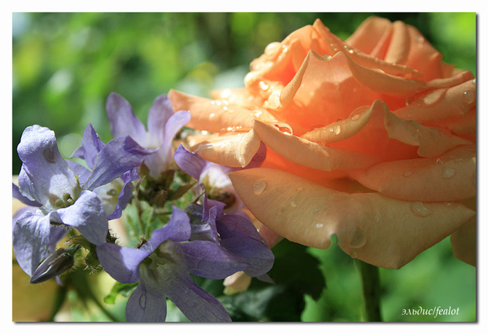 Розовый венец. Розою о розе (о сортах роз). Часть 1. (699x478, 100Kb)